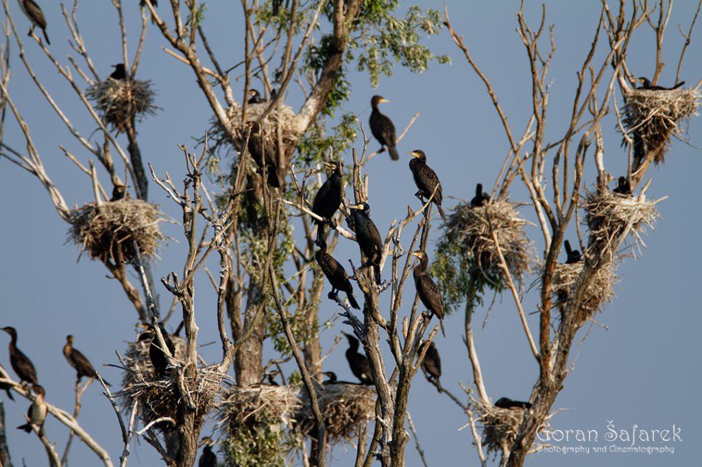 Veliki vranac, kormoran, Phalacrocorax carbo, kolonija, gnijezdo, gniježđenje, kopački rit