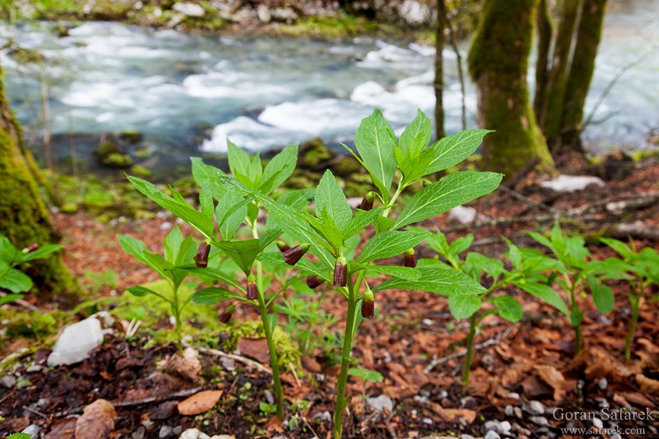 Scopolia carniolica,Kranjski bijeli bun,kamačnik, rijeke, gorski kotar, brzaci
