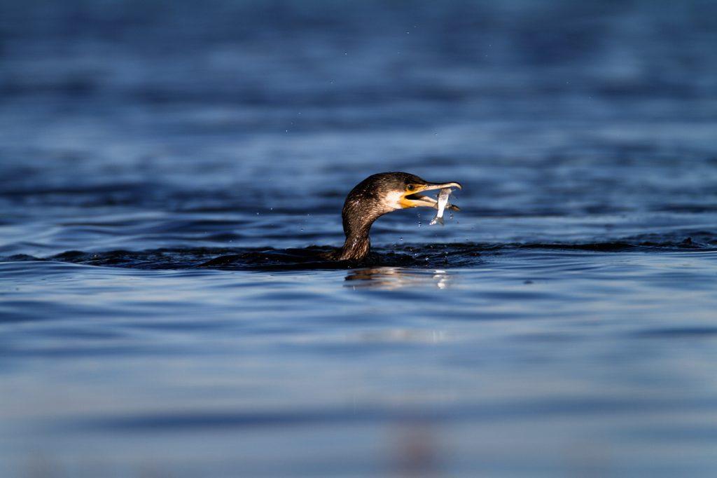 Veliki vranac, kormoran, Phalacrocorax carbo