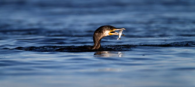 Veliki vranac (Phalacrocorax carbo)
