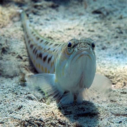 Pauk bijelac, Trachinus draco, jadransko more, riba,bentos, podmorje