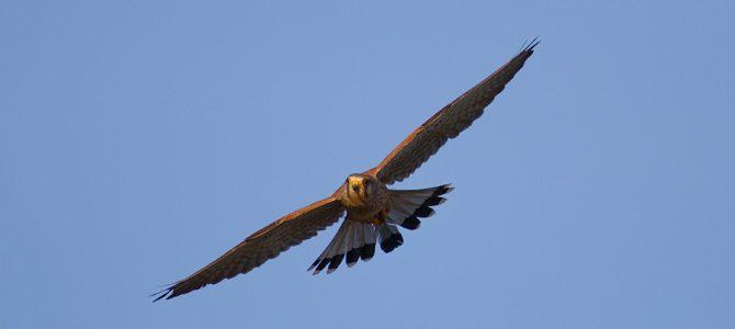 Vjetruša (Falco tinnunculus)