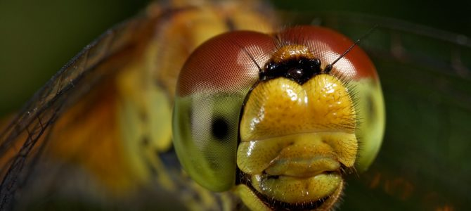 Vretenca (Odonata)