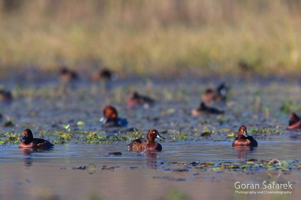 seoba, ptice, migracije, ornitologija, njorka, patka