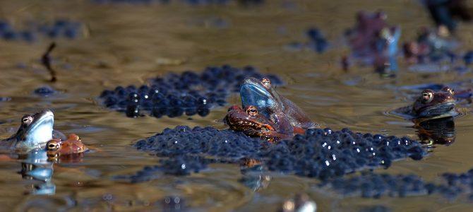 Mrijest žaba