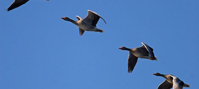 Selidbe ptica – prirodni spektakl