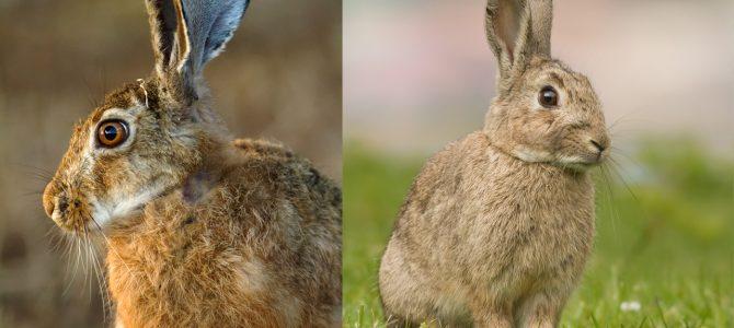 Kunić ili zec? Kako ih razlikujemo