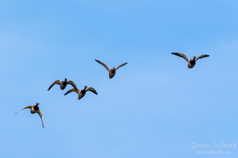 seoba, ptice, migracije, ornitologija, patka