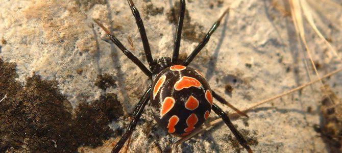 Crna udovica(Letrodectus tredecimguttatus)