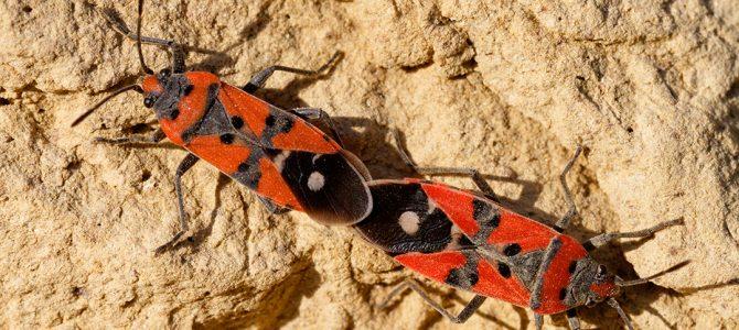 Vatrena stjenica(Pyrrhocoris apterus)