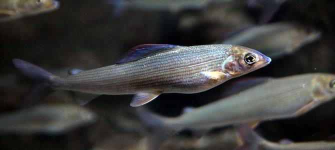 Lipljen(Thymallus thymallus)