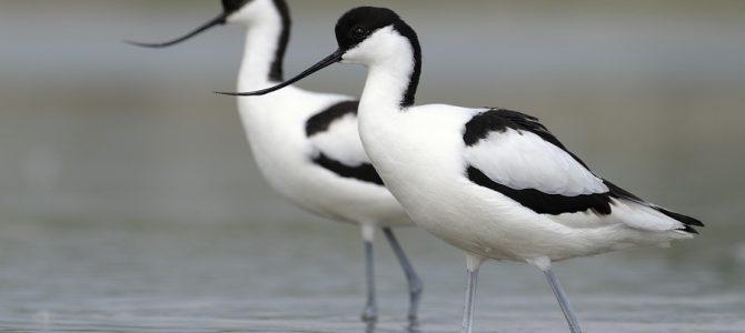 Ptice močvarice