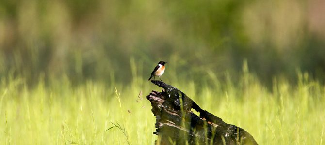Crnoglavi batić(Saxicola torquata)