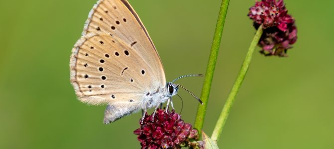 Livadni plavci – nevjerojatan životni ciklus leptira
