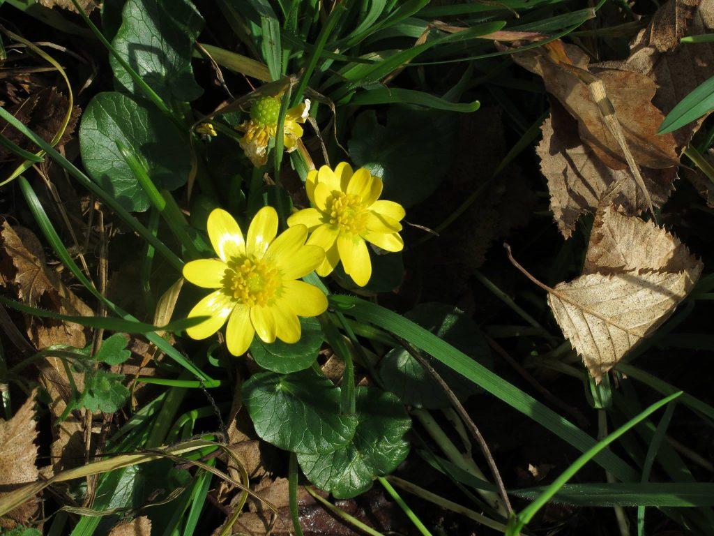Zlatica, Ranunculus ficaria