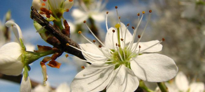 Trnina (Prunus spinosa)