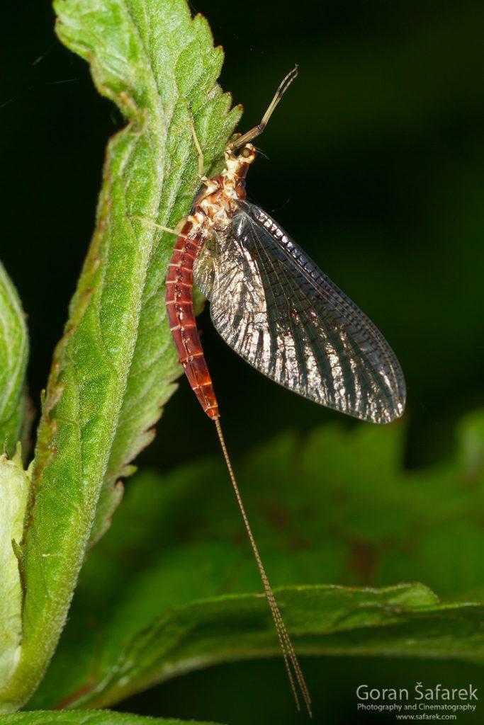 vodencvijet, Ephemeroptera