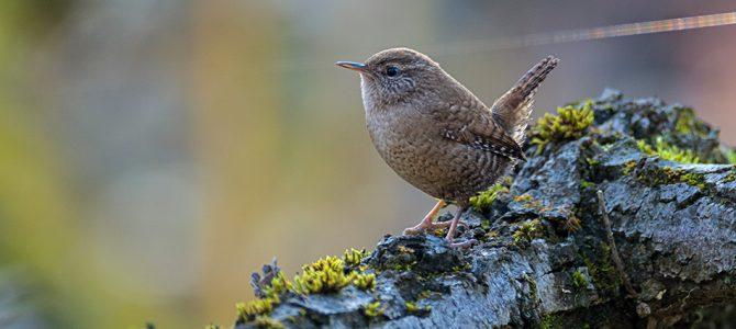 Palčić – mala, ali živahna ptica