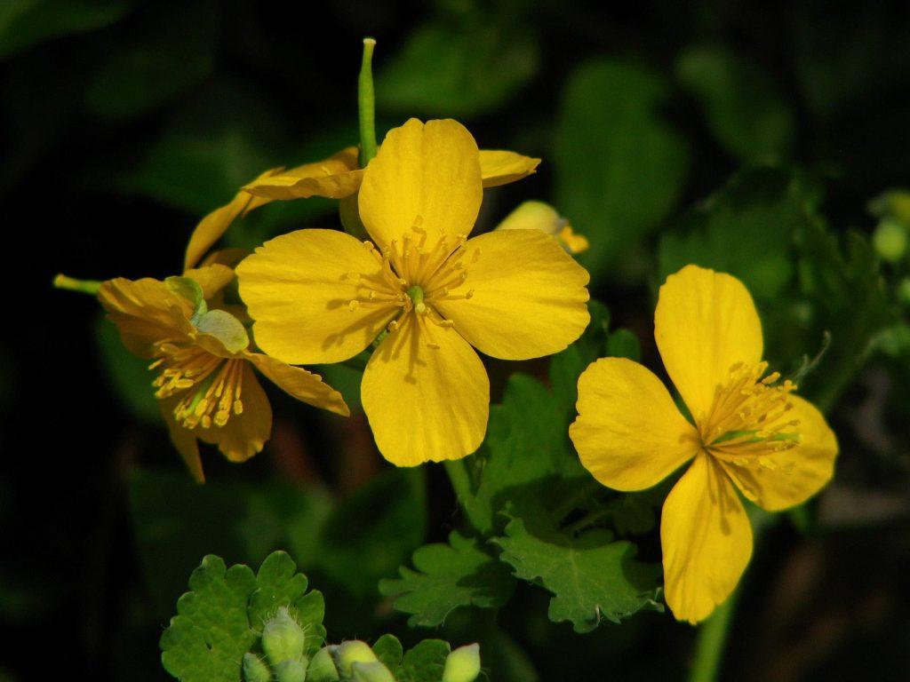 Rosopas, Chelidonium majus