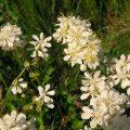 Gomoljasta končara, Filipendula vulgaris