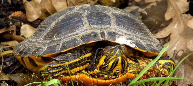 Žutouha kornjača – američki došljak