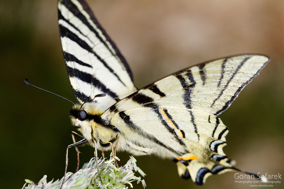 Prugasto jedarce, Iphiclides podalirius, leptiri, biokovo