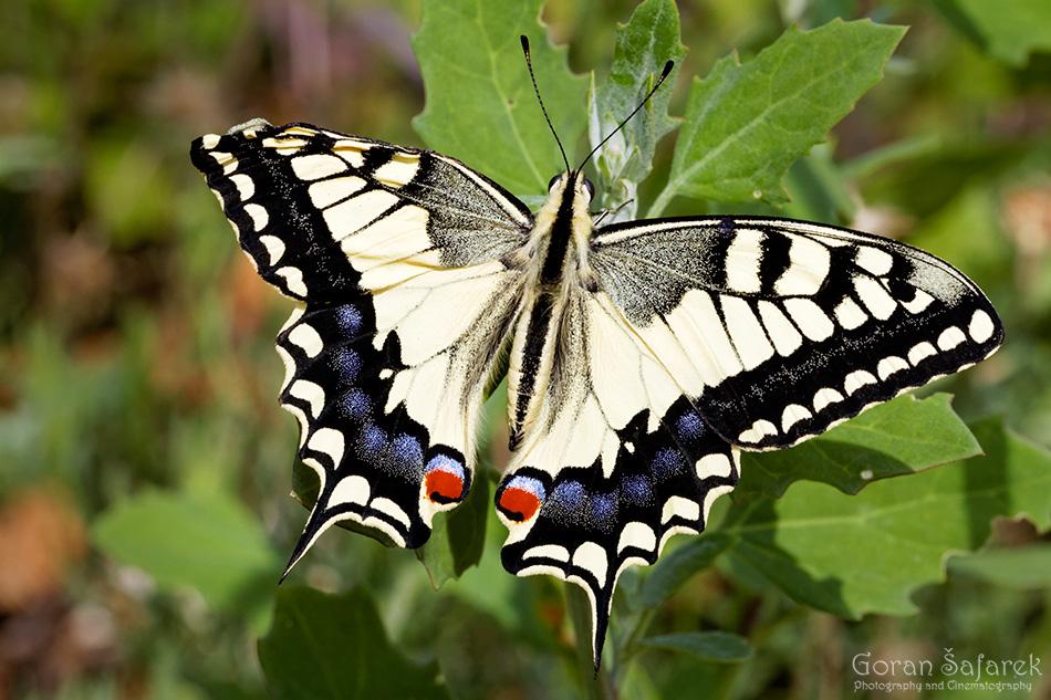 Lastin rep, Papilio machaon