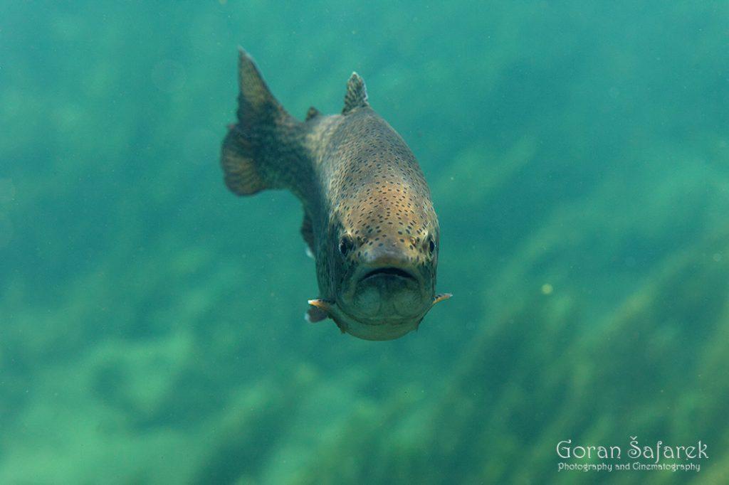 Kalifornijska pastrva, Salmo gairdneri irideus