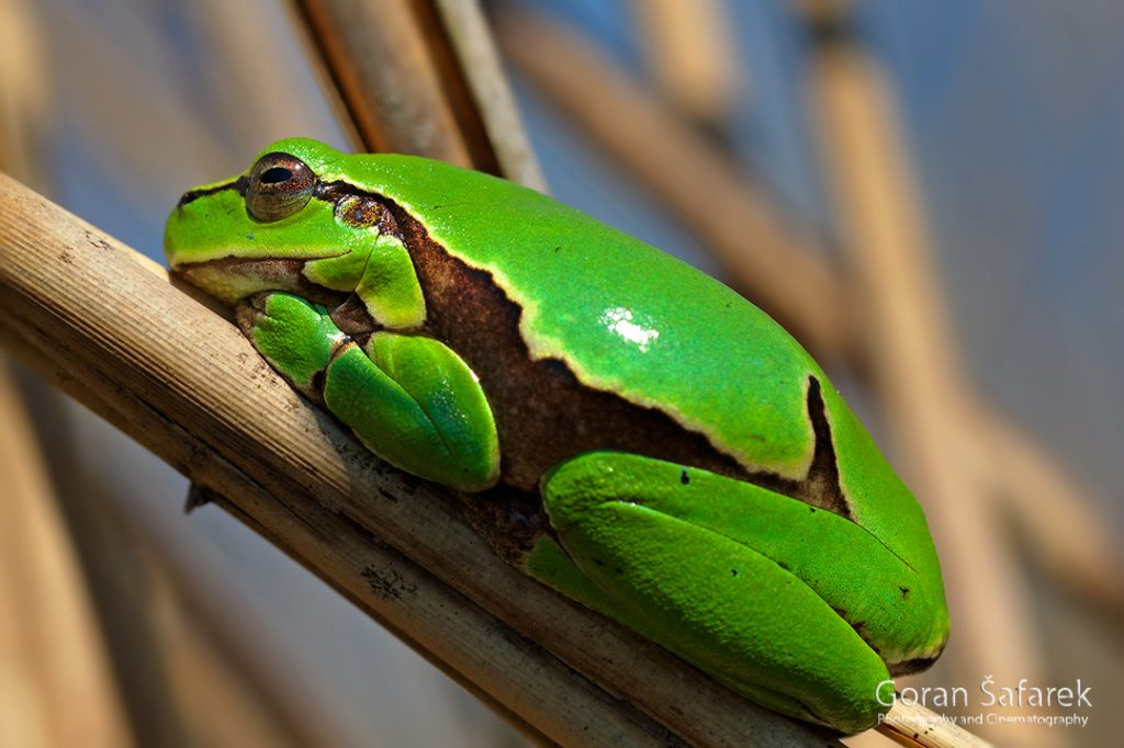vodozemci, žabe, gatalinka