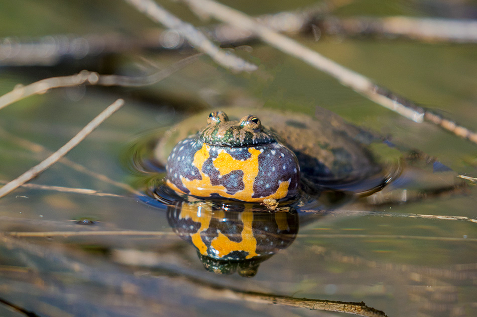 mukač, žabe, vodozemci