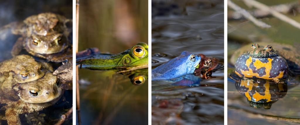 žabe, vodozemci