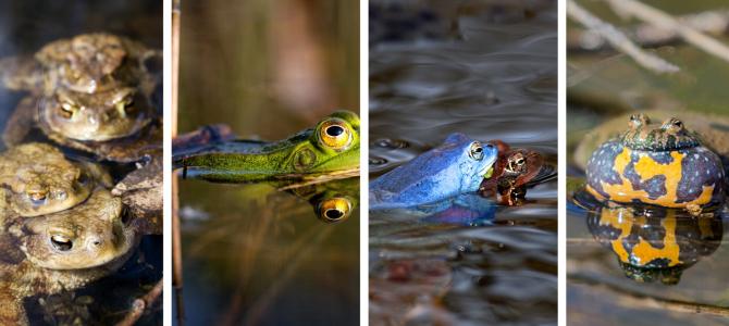 Žabe u Hrvatskoj