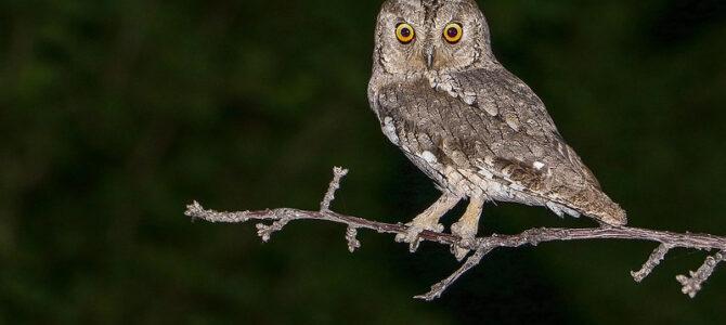 Ćuk – noćni pjevač