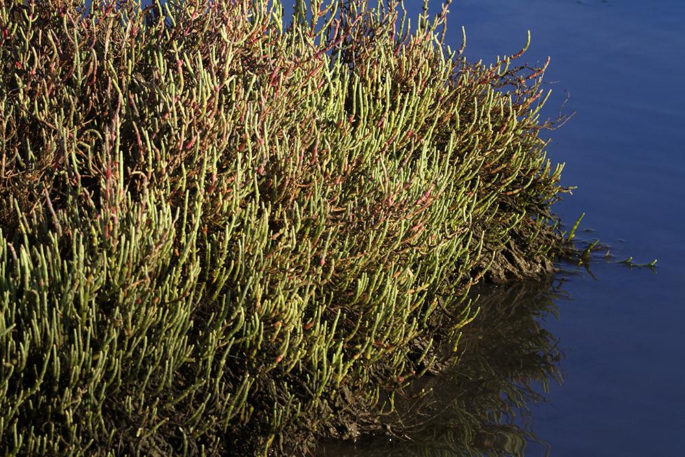 Grmolika caklenjača, Salicornia fruticosa, halofiti