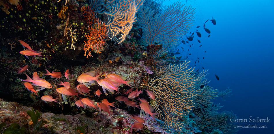more, koralji, koraligen, podmorje, jadransko more, jadran, ronjenje