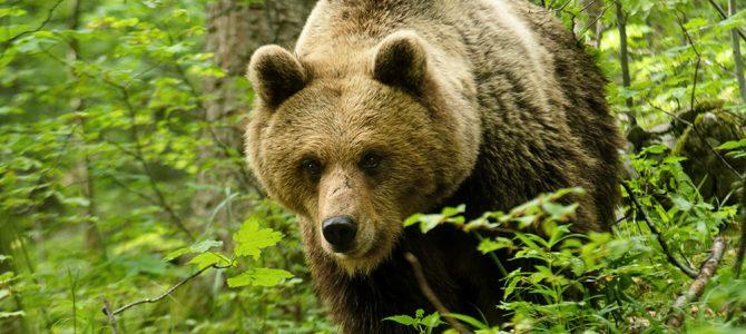 Smeđi medvjed – div naših planinskih šuma