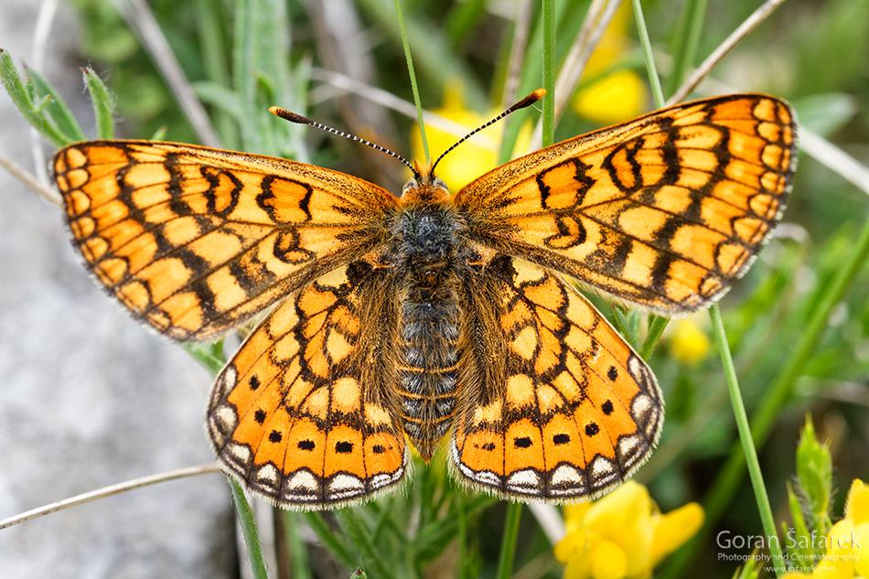 leptir, kukci