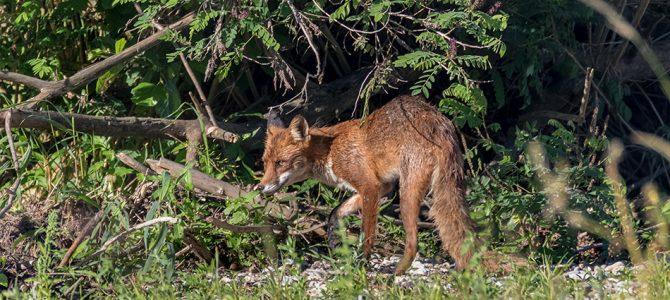 Lisica – lukava i skrovita
