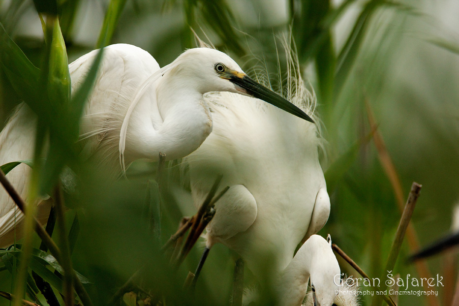 promatranje ptica, birwatching, birding, ptice, čaplja, lonjsko polje, krapje đol