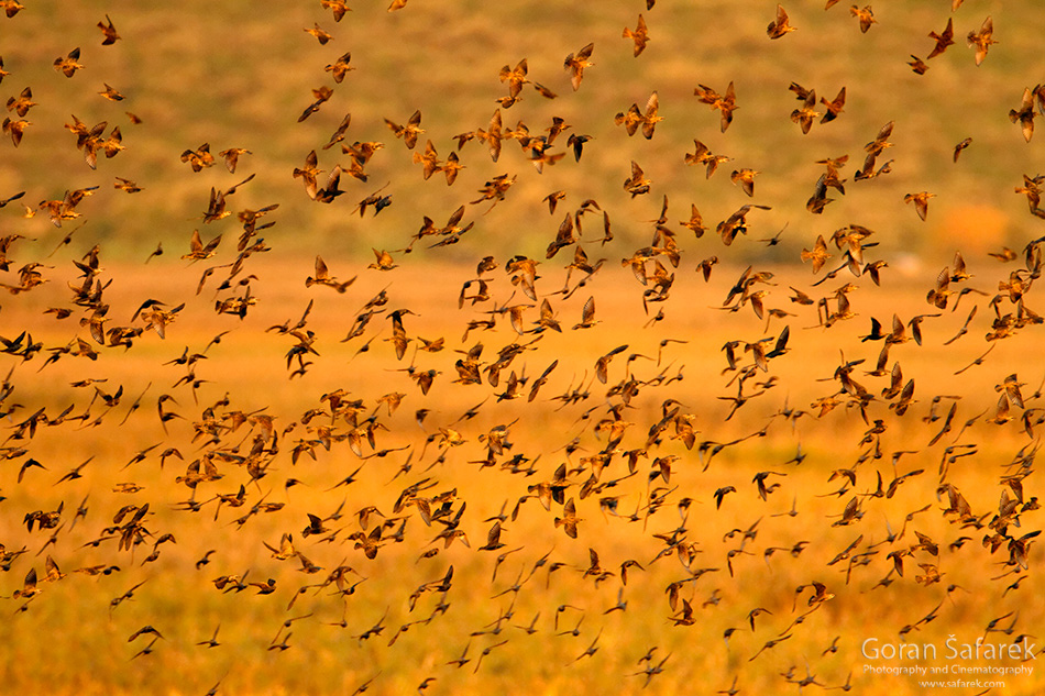 čvorak, jato, ptice, promatranje ptica, birwatching, birding, ptice