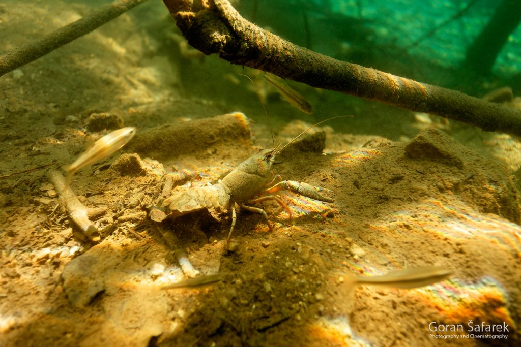 plitvička jezera, nacionalni park, sedra, voda, potočni rak, astacus