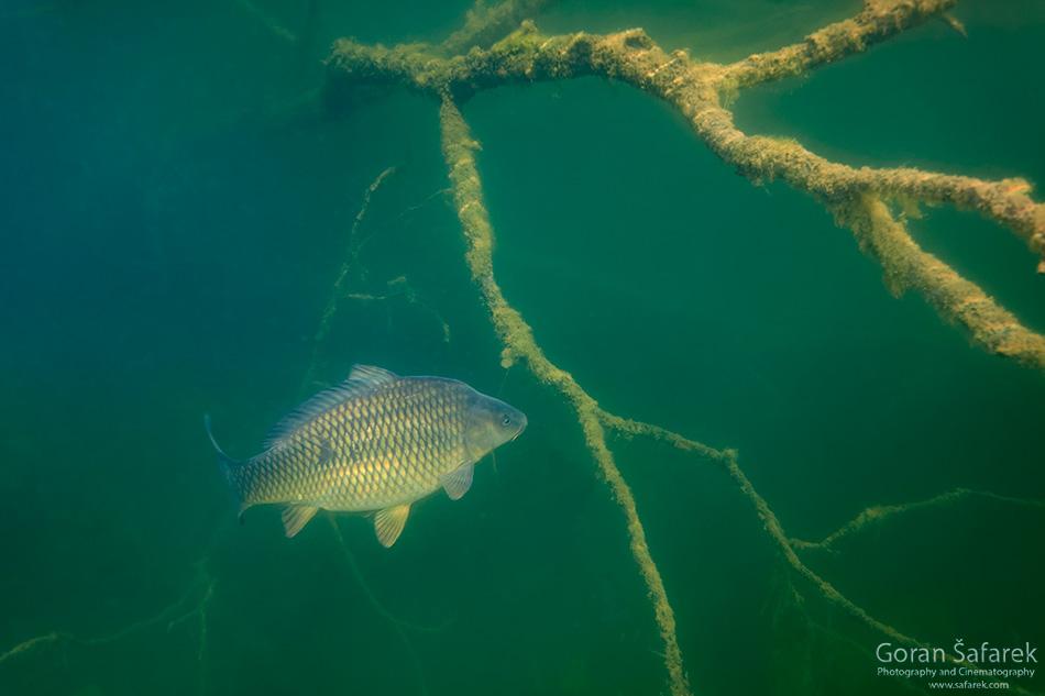 Šaran, Cyprinus carpio, riba, ribolov, podvodna