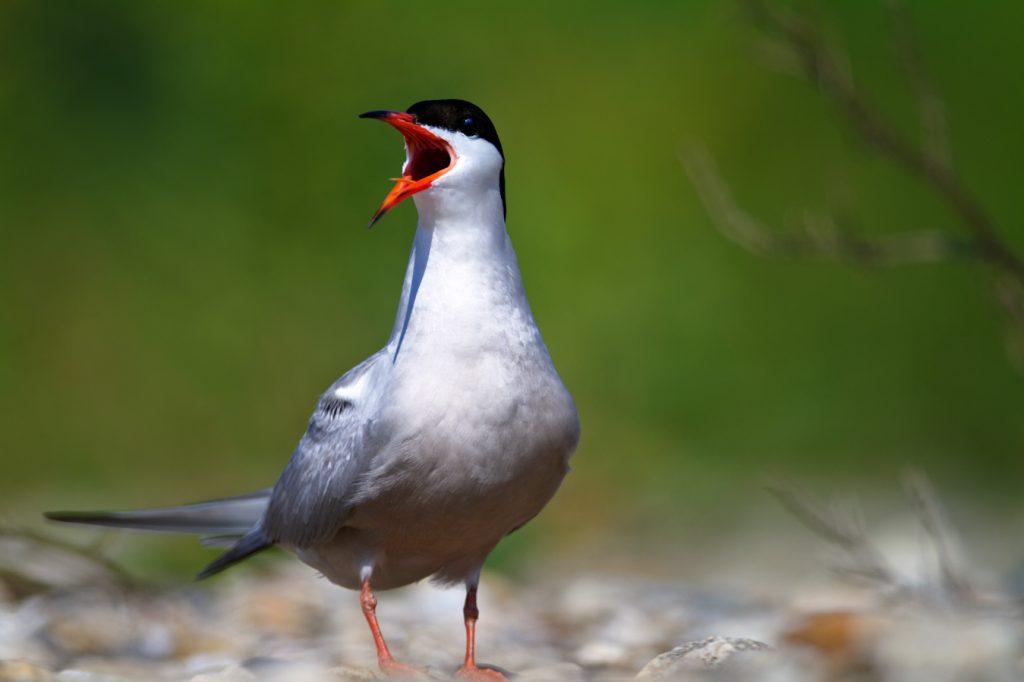 crvenokljna čigra, Sterna hirundo, gniježđenje, drava, sprud, ptica, ptice