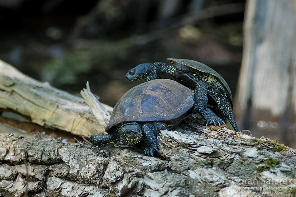 barska kornjača, gmazovi, lonjsko polje, parenje, Emys orbicularis