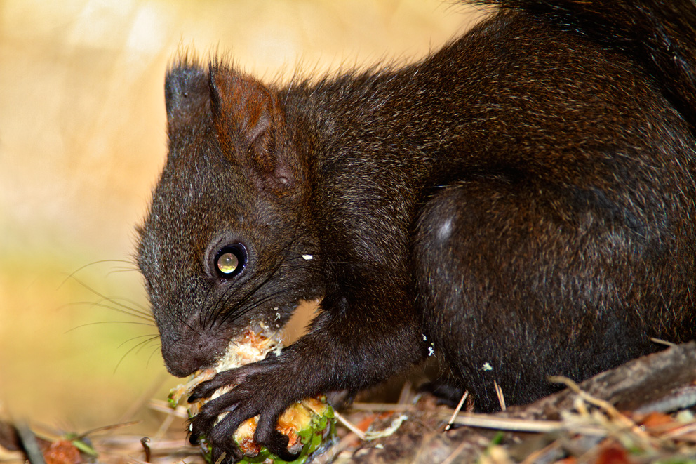 vjeverica, Sciurus vulgaris