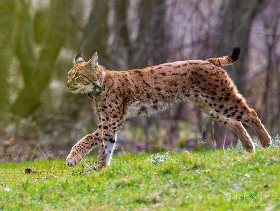 Euroazijski ris, Lynx lynx