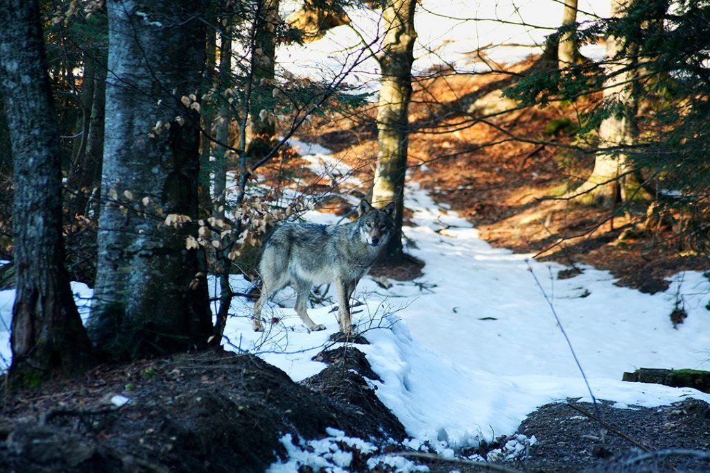 vuk, canis lupus