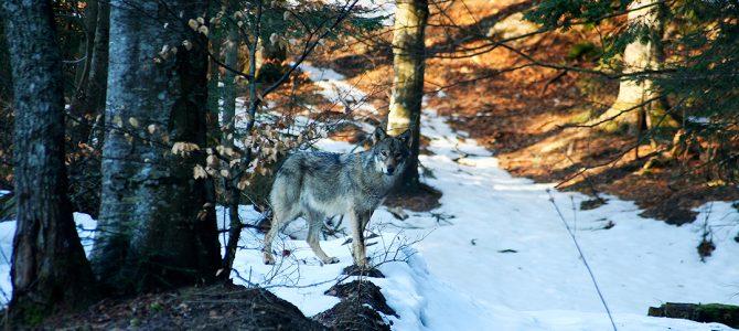 Sivi vuk (Canis lupus)