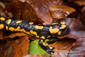 Pjegavi daždevnjak, Salamandra salamandra