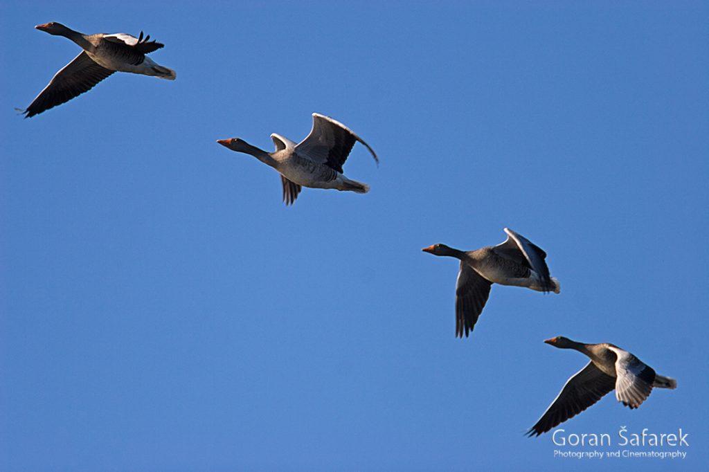 seoba, ptice, migracije, ornitologija, guske
